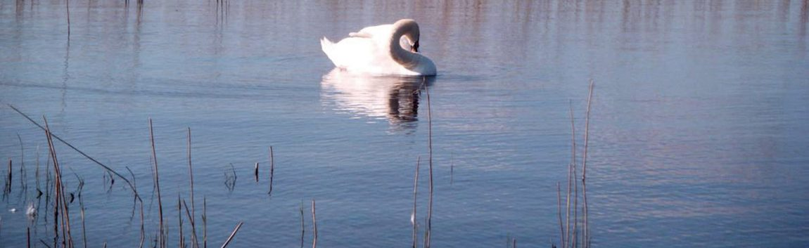 Swan on a peaceful river Shannon